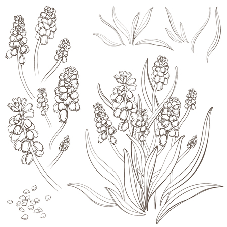 Muscari - spring flowers, isolated on white background. Hand-drawn illustrations.
