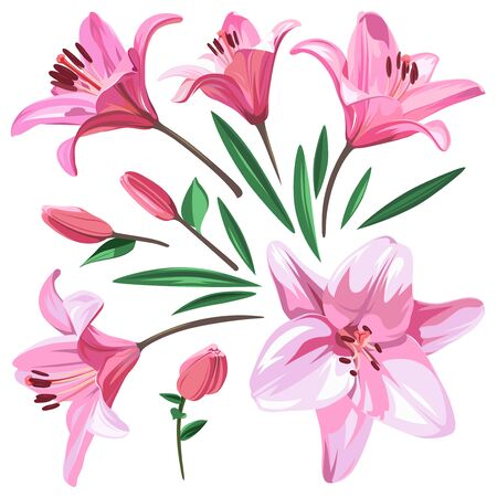 Set of pink flowers - Lily isolated on white background.