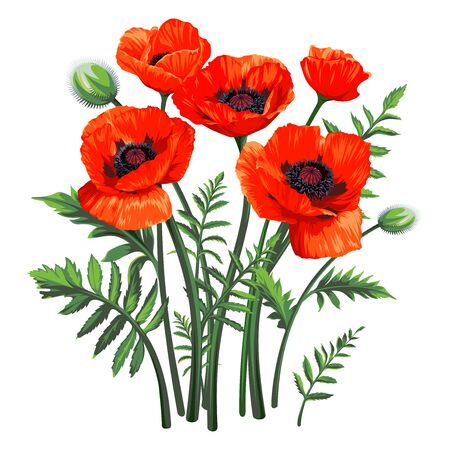 Bouquet of Common Poppy (Papaver rhoeas) flowers isolated on white background. Spring illustration.