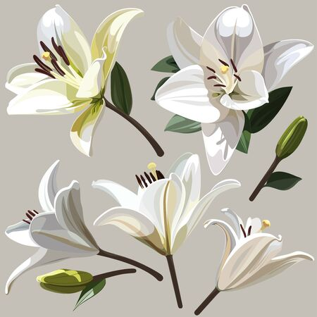 White flowers of Lily on light background. 일러스트