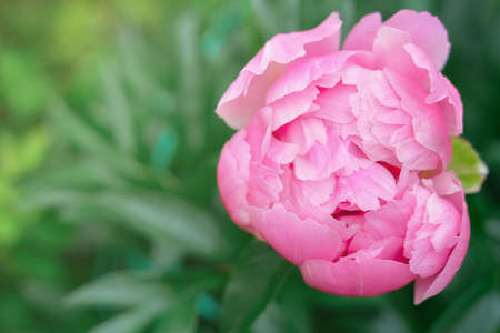 pink japanese peony flower blooming in a garden. beautiful flower background or calendar page. wallpaper for summer projects. selective focus. Stock fotó - 155411221