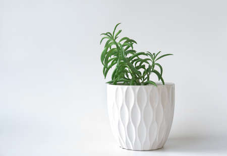 Peperomia ferreyrae in a white pot. minimal style home decor and plants. hipster and nordic style decoration. succulent home plants. easy to care flowers.
