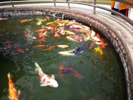 Big fishes of different colors in the fontain come to the edge for food
