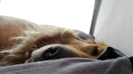 Black nose of sleeping golden retriever