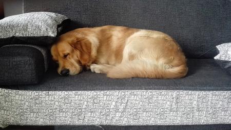 Golden retriever male dog sleep on the black and white sofa Imagens