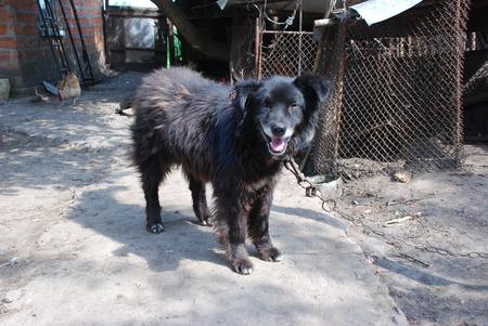 dirty street dog on the rusty chain
