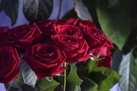 red roses among the green leaves with the side light