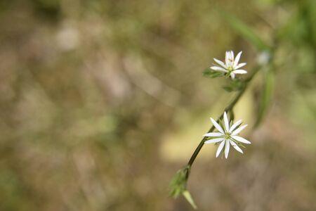 Piccoli fiori bianchi di dieci petali a forma di stella sullo sfondo verde sfocato. Avvicinamento.