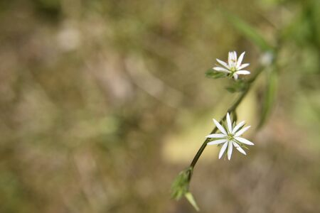 Small white flowers of ten petals in the shape of the star on the green blured background. Close-up.