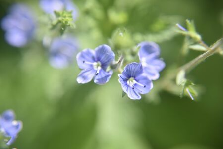 Selective focus at the edges of blue flower petals. Close look at the blue flower during spring time. Nature and floral concept. Banco de Imagens
