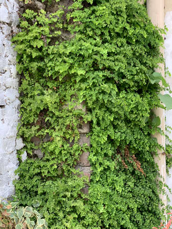 green ivy plant covering the outside wall of the building Archivio Fotografico