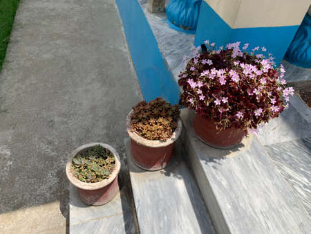 pink flowers and green sukulents in pots on the stairs of the house Archivio Fotografico