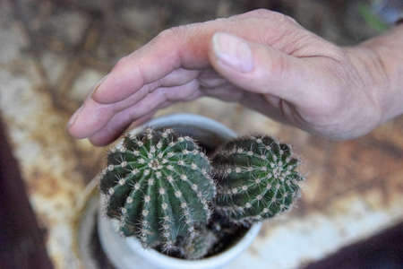 selective focus at the green cactus, covered from the side with the mans hand