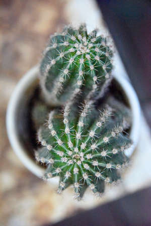 selective focus at two tops of green cactus plant in the white pot