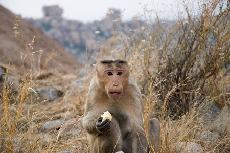A cute surprised monkey eats an Apple and looks at you.