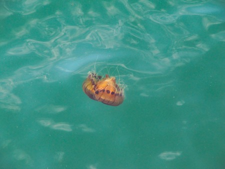 red spotted jellyfish moves in the turquoise sea