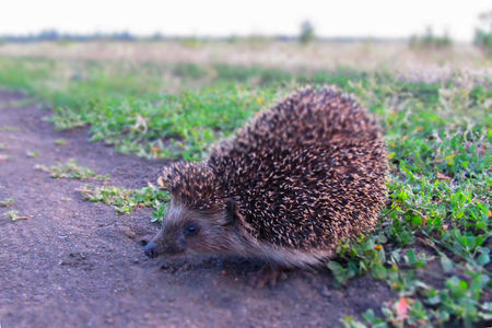 Funny big hedgehog sitting arched his back on green grass.
