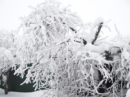 The tree has bent because of a huge layer of snow on its branches.