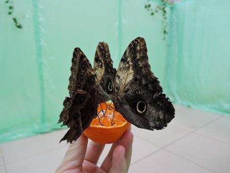 Tropical butterflies eat an orange from the hands of man 스톡 콘텐츠