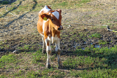 Young cow standing in the pasture on a Sunny day.