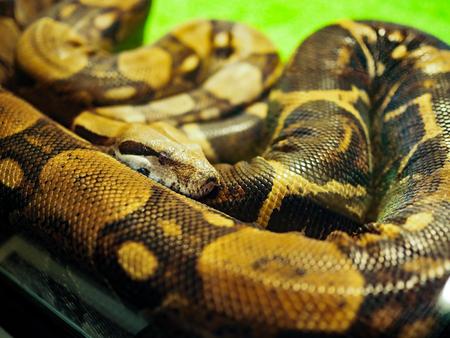 Big Python avec sa tête recroquevillée allongée dans un terrarium sur fond vert