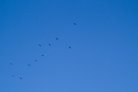 a large flock of birds flies high in the blue spring sky.