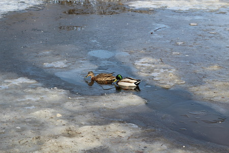 duck and Drake are swimming in the thawed around the transparent ice on a pond in early spring.