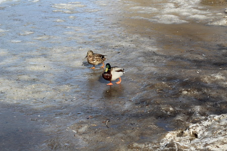 family duck with Drake go on clear ice on the pond in early spring. Фото со стока - 120649626