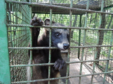 The raccoon dog sticks its muzzle out through the iron bars of its cage. Фото со стока - 120649783