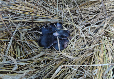 newborn black rabbit cubs lie curled up in a straw nest. Фото со стока - 120649839