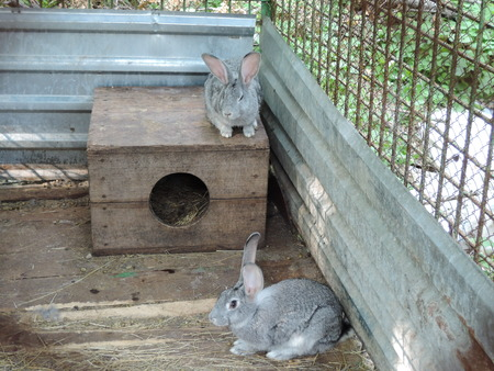 two gray rabbits sitting in a cage near their booth. Фото со стока