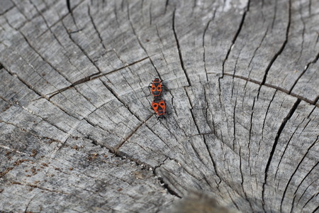 Two red Pyros bugs mate on the cut of wood.