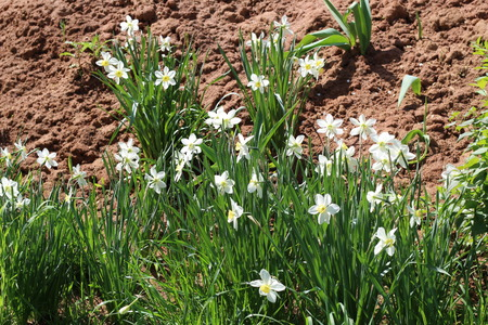 a beautiful Bush of blooming Narcissus on the background of clay soil Stockfoto