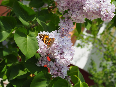 Butterfly Vanessa cardui on lilac flowers. Pollination blooming lilacs. Vanessa cardui.