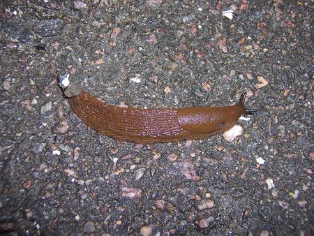 large brown slug crawling on the wet asphalt.