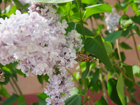 Butterfly Vanessa cardui on lilac flowers. Pollination blooming lilacs.