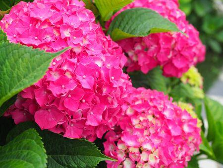 This secret garden is utterly dreamy. Showy flowers in summer. Hydrangea blossom on sunny day. Flowering hortensia plant. Blossoming flowers in summer garden. Pink hydrangea in full bloom.