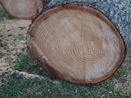 Freshly sawed pine log close-up in the forest. Wood round timber. Cut pine.