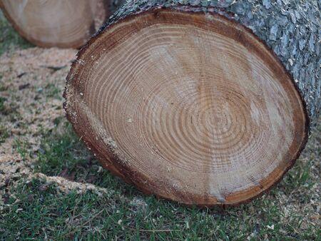 Frisch gesägte Kiefernholznahaufnahme im Wald. Rundholz aus Holz. Kiefer schneiden.