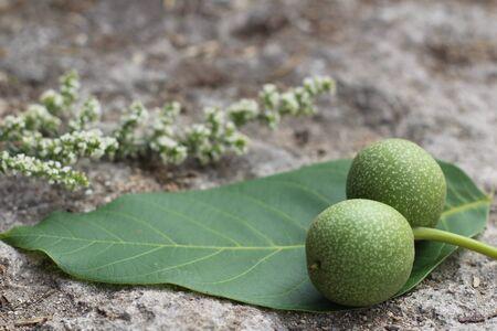 Greek walnut fresh in the skin lies on the sheet. Reklamní fotografie