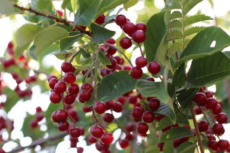 Close up of red bird cherry on the branch.
