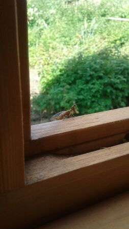 green mantis sits on a wooden frame by the open window. unexpected guest, insectophobia.
