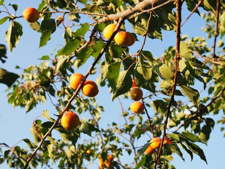 Ripe apricots on the orchard tree. Nature background