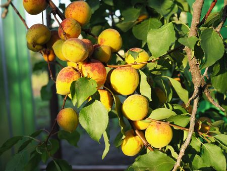Ripe apricot on the orchard tree. Nature background