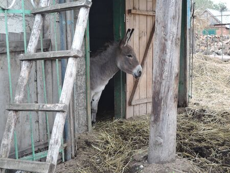 Donkey looks out of the stable.