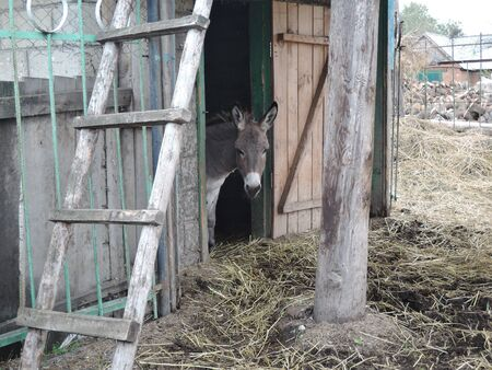 Donkey looks out of the stable in the farm.