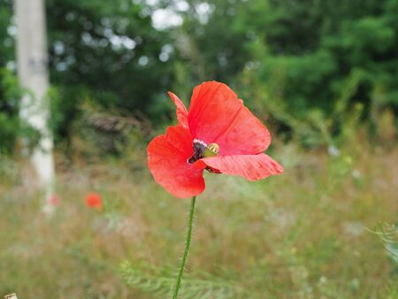 poppy. a herbaceous plant with showy flowers, milky sap, and rounded seed capsules. drugs such as morphine and codeine.
