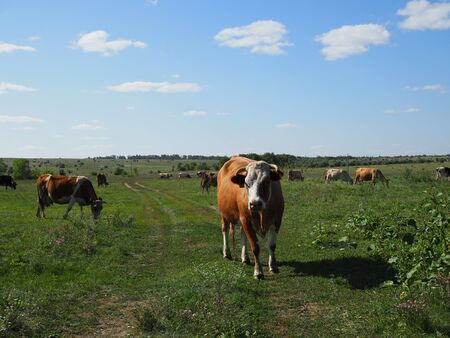 A herd of cows grazing in a meadow Sunny day.