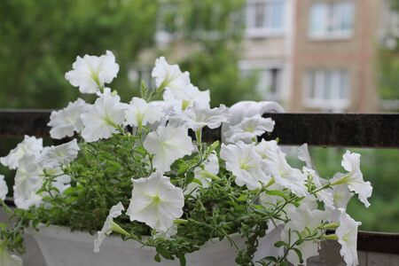 Beautiful colorful of freshness petunias flower in white blossom and growth in pot near window outside, balcony decorated in summer season. Flower 's balcony decor home concept