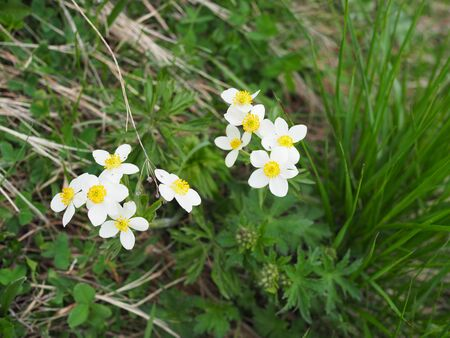 beautiful mountain flowers with white petals and yellow middle close-up